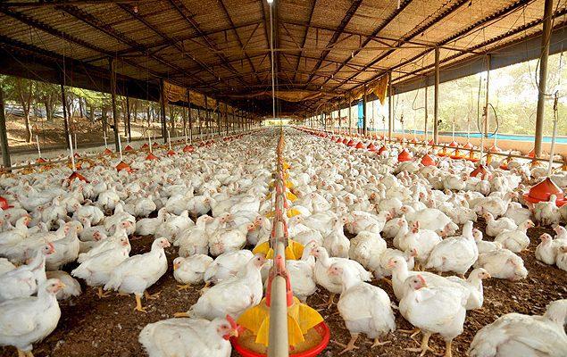 Dicas para sua granja de frango de corte