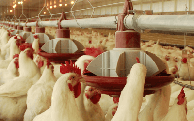Saiba mais sobre os tipos de comedouros para galinhas