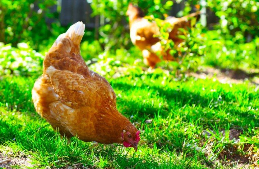 Como criar galinha caipira?