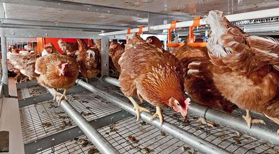 Como fazer sua criação de galinha poedeira