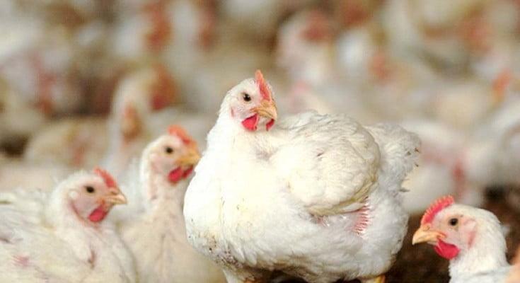 Escolha os equipamentos corretos para sua granja de frango