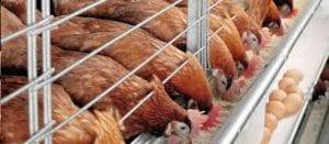 uma imagem sobre criação de galinha poedeira